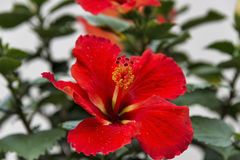 Red-orange hibiscus flower with a white background Stock Photo