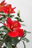 Red-orange hibiscus flower with a white background Stock Images