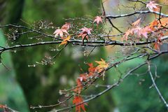 Red and orange Japanese Maple Leaf on the branch of tree after rain. The leaves change color from green to yellow, orange and red in autumn Stock Photos