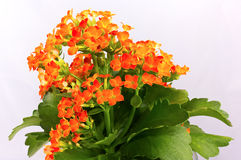 Red-orange Kalanchoe Royalty Free Stock Photos