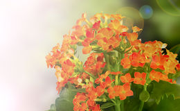 Red-orange Kalanchoe background Royalty Free Stock Photo