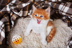 Red orange kitten at blue wood Royalty Free Stock Photo