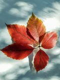 Red leaf on the background of snow. Valer shadows on white snow royalty free stock image
