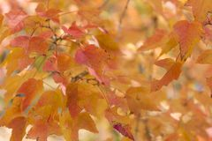Red and orange leaves background. Autumn foliage. Stock Photography