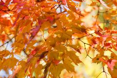 Red and orange leaves background. Autumn foliage. Royalty Free Stock Photos