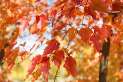 Red and orange leaves background. Autumn foliage. Royalty Free Stock Photo