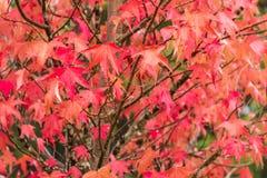 Red and orange leaves of liquidambar with raindrops Stock Image