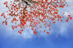Red and orange leaves tree in autumn with cloud and blue sky. In the garden Royalty Free Stock Photos