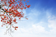 Red and orange leaves tree in autumn with cloud and blue sky. In the park Royalty Free Stock Photography