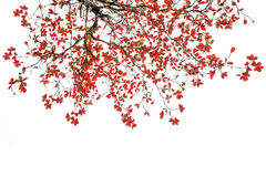 Red and orange leaves tree in autumn isolated. On white background Stock Image