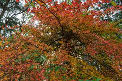 Red and orange leaves on a tree. Autumn, fall nature background Royalty Free Stock Photography