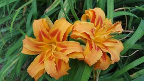 Red and orange lilies royalty free stock photography