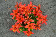 Red / orange lily flowers Royalty Free Stock Photos