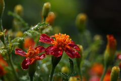 Red orange marigold flowers with raindrops royalty free stock photo