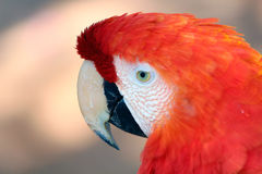 A red and orange macaw on closeup blurred background. Macaw, or parrot, or arara is a wild and exotic bird in the nature Stock Photo