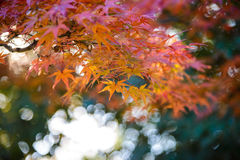 Red and orange maple leaf in mid autumn Japan Stock Images
