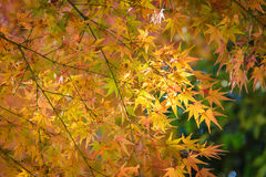 Red and orange maple leaf in mid autumn Japan Stock Photography