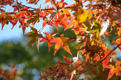 Red and orange maple leaf in mid autumn Japan Royalty Free Stock Photos