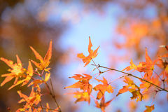 Red and orange maple leaf in mid autumn Japan Stock Image