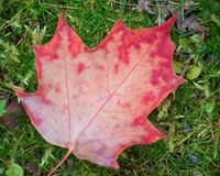 Red orange maple leaf with veins on green grass, close-up stock images