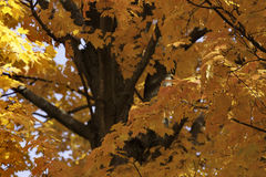 Fall Maple tree colors Stock Photography
