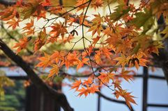 Red and orange maple leaves at Kyoto temple in Autumn. Around October to November with Koyo red leaves festival Royalty Free Stock Images