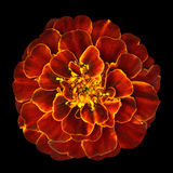 Red Orange Marigold Flower Isolated on Black Background. Orange red marigold flower with yellow middle, the edges of the petals are bright yellow edging Royalty Free Stock Photo