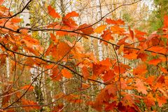 Red-orange oak leaves on the background of birches stock photography