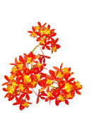 Red Orange Orchid Royalty Free Stock Images