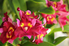 Red-orange orchid flowers in the nature Royalty Free Stock Image
