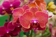 Red orange orchid phalaenopsis Stock Images