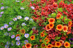 Red and orange petunia flowers Royalty Free Stock Photography