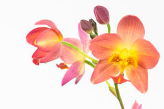 Red orange Philippine ground orchids close-up Royalty Free Stock Images