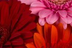 Red  orange pink gerbera flowers Stock Photography