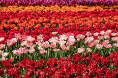 Brightly coloured red, pink and orange tulips at Keukenhof Gardens, Lisse, Netherlands. Keukenhof is known as the Garden of royalty free stock photo