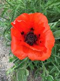 Red orange poppy black and blue colourful centre pod green leaves urban concrete Stock Photo