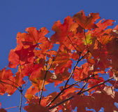 Red-Orange Pride--Autumn Foilage Royalty Free Stock Photos