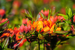 Red-orange rhododendron. Flowers by the one of the most beautiful woody plants of the heath family - rhododendrons Stock Photos