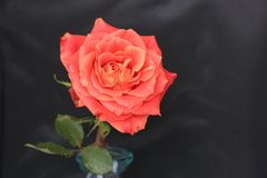 Red orange rose at black background for love, remembrance. Red orange rose with at black background. Could be used for love, remembrance, love royalty free stock photos