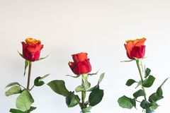 Red orange rose in bottle, against white background. Copy space stock image
