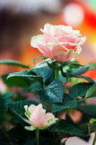 Red and orange rose flower close-up photo with shallow depth of Royalty Free Stock Image