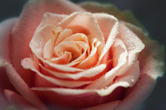 Red and orange rose flower close-up photo with shallow depth of stock photos