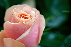 Red and orange rose flower close-up photo with shallow depth of stock image