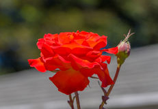 Red-orange rose flower close-up. Shot in a street in San Fransisco royalty free stock photography
