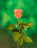 Red and orange rose flower, green light bokeh background, close up Royalty Free Stock Photos