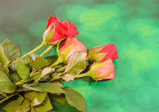 Red and orange rose flower, green light bokeh background, close up Stock Photo