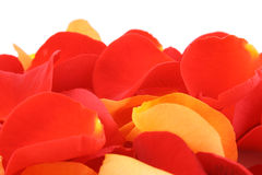 Red and orange rose petals. Background of red and orange rose petals close-ups stock image