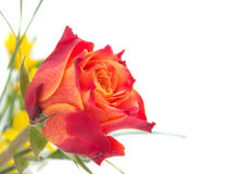 Red, orange roses with green leaves. One red, orange roses with green leaves, side a place for the signature, on a background of yellow flowers, photography at Stock Images