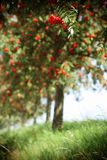 Red orange rowan berries hanging from tree Stock Images