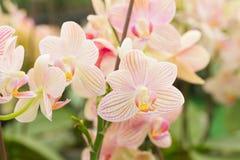 Red orange Spathoglottis Plicata ground orchids Stock Photos
